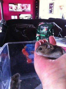 Hamster savant TAL pour le spectacle Magiclown