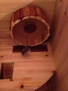 Hamster SHYM pour le spectacle de Charly's et Mario