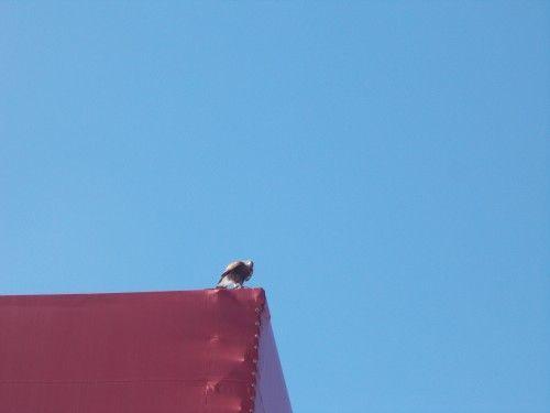Spectacle de fauconnerie