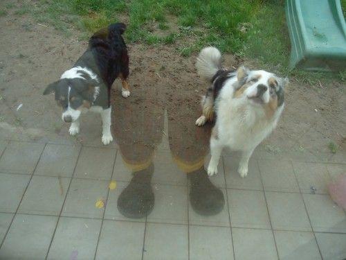 Les chiens Jeox et Jeli